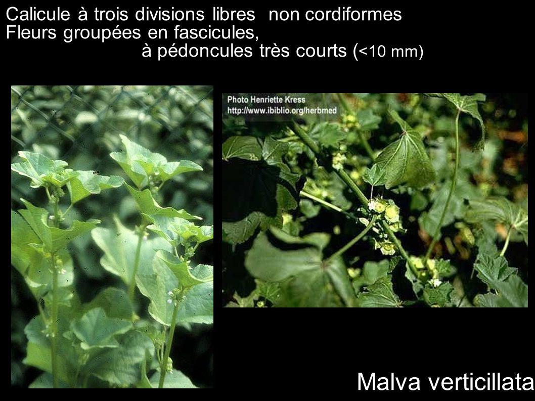 Malva verticillata Calicule à trois divisions libres non cordiformes Fleurs groupées en fascicules, à pédoncules très courts ( <10 mm)