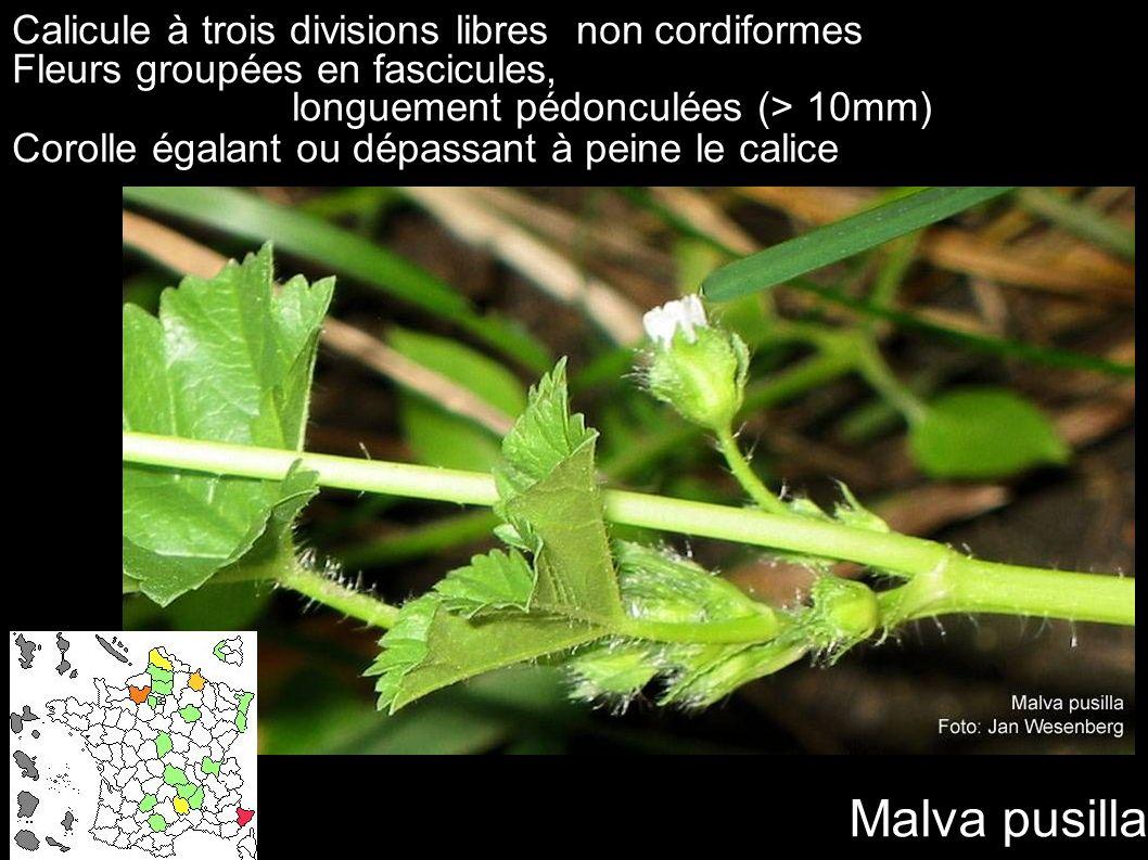 Malva pusilla Calicule à trois divisions libres non cordiformes Fleurs groupées en fascicules, longuement pédonculées (> 10mm) Corolle égalant ou dépa