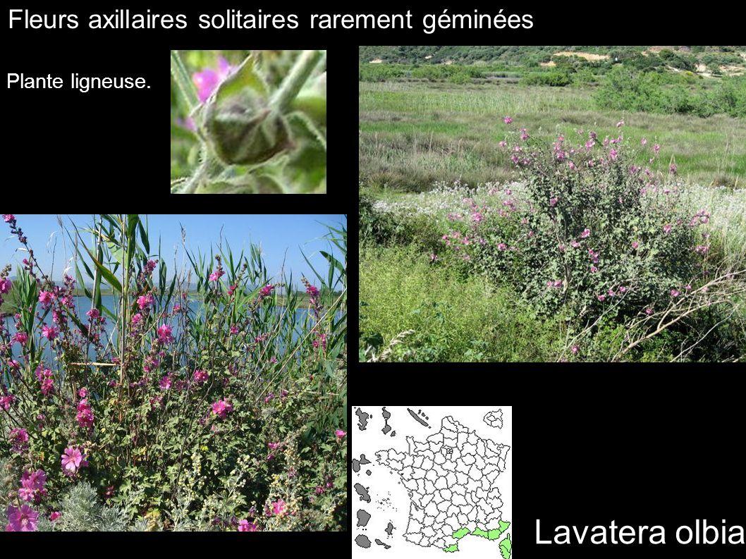 Lavatera olbia Fleurs axillaires solitaires rarement géminées Plante ligneuse.