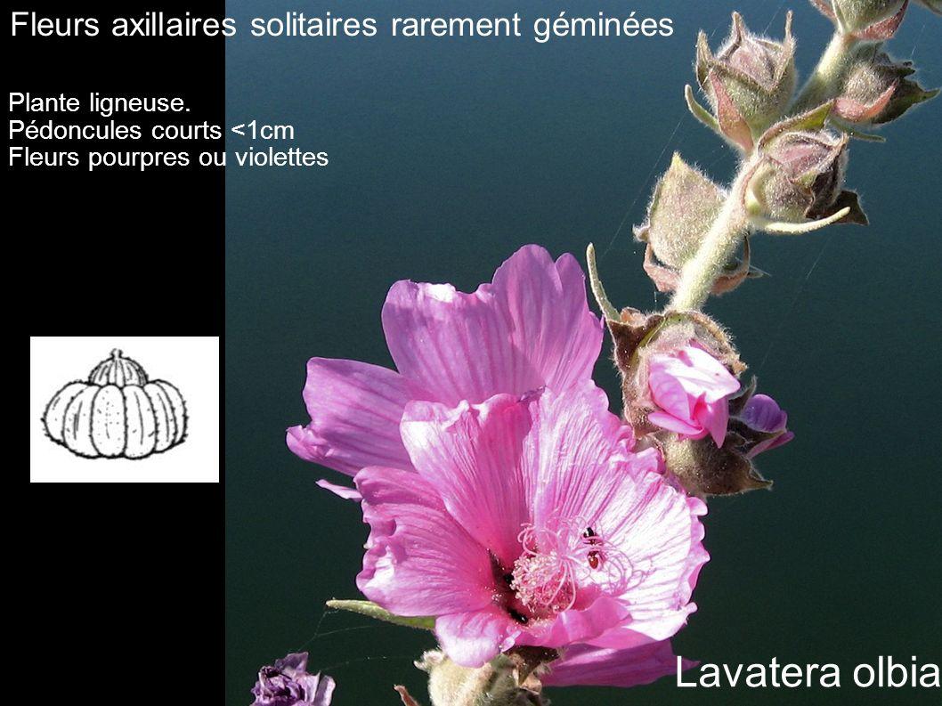 Fleurs axillaires solitaires rarement géminées Plante ligneuse. Pédoncules courts <1cm Fleurs pourpres ou violettes Lavatera olbia