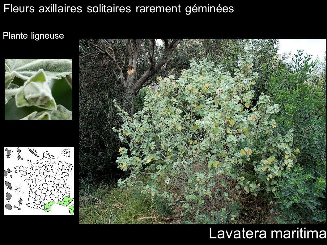 Lavatera maritima Fleurs axillaires solitaires rarement géminées Plante ligneuse