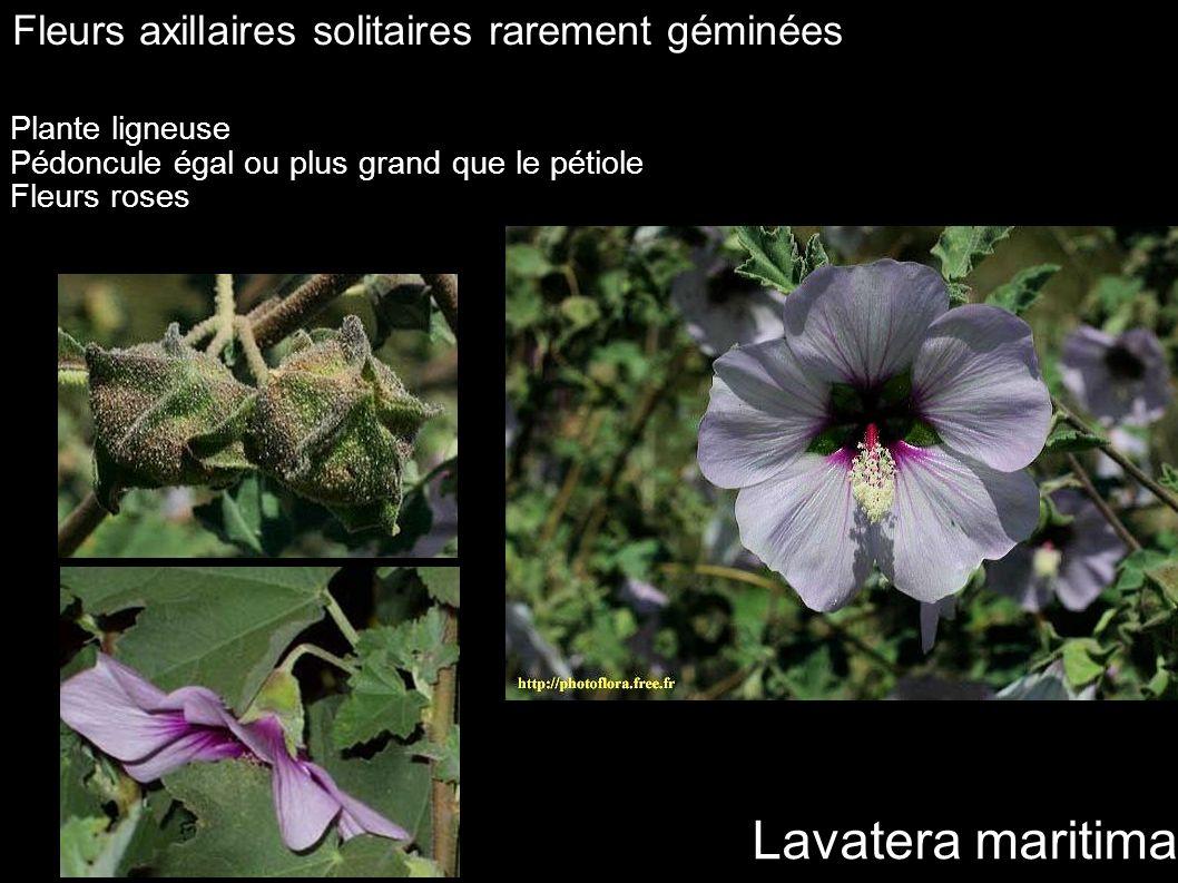 Lavatera maritima Fleurs axillaires solitaires rarement géminées Plante ligneuse Pédoncule égal ou plus grand que le pétiole Fleurs roses