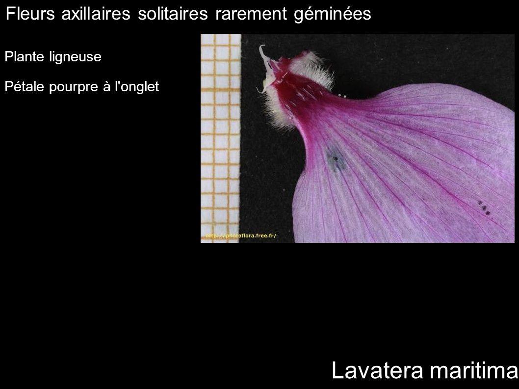 Lavatera maritima Fleurs axillaires solitaires rarement géminées Plante ligneuse Pétale pourpre à l'onglet