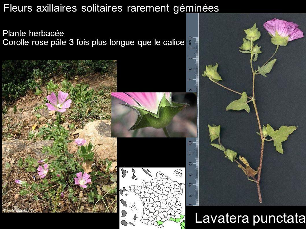 Lavatera punctata Fleurs axillaires solitaires rarement géminées Plante herbacée Corolle rose pâle 3 fois plus longue que le calice