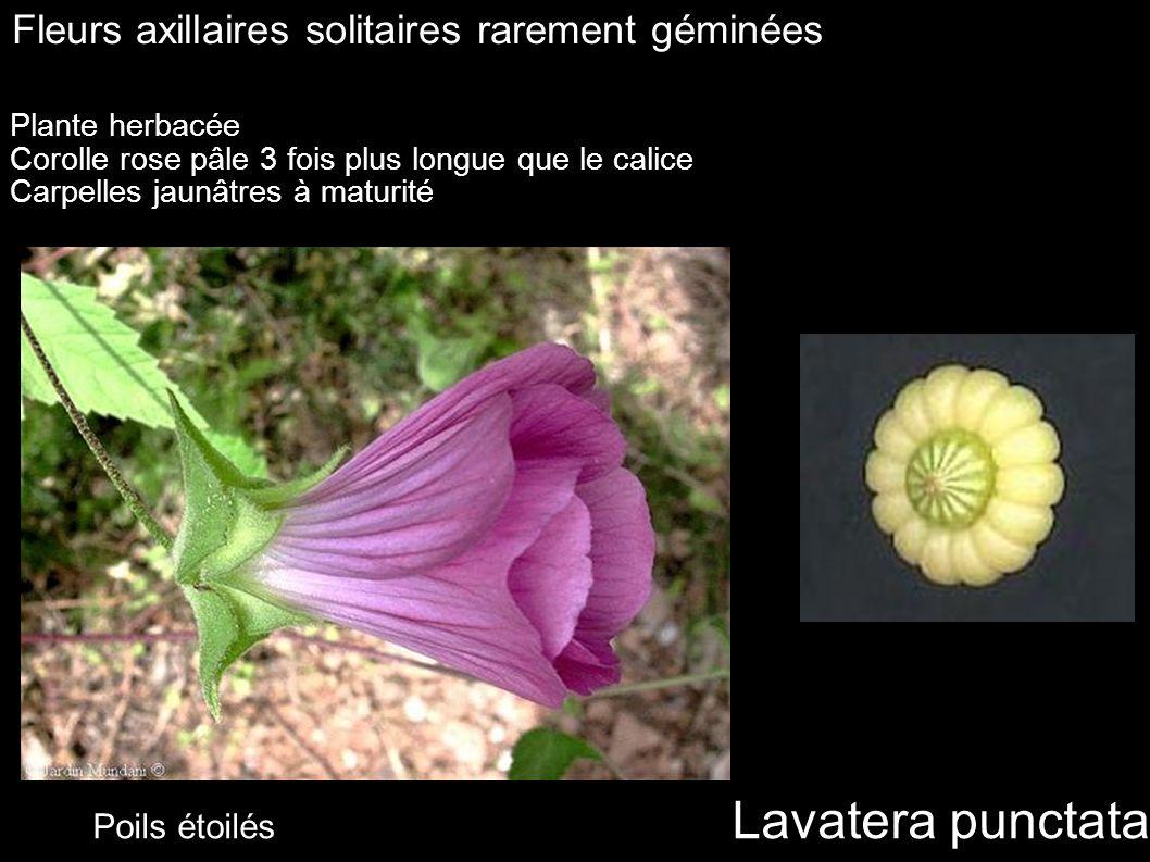 Lavatera punctata Fleurs axillaires solitaires rarement géminées Plante herbacée Corolle rose pâle 3 fois plus longue que le calice Carpelles jaunâtre