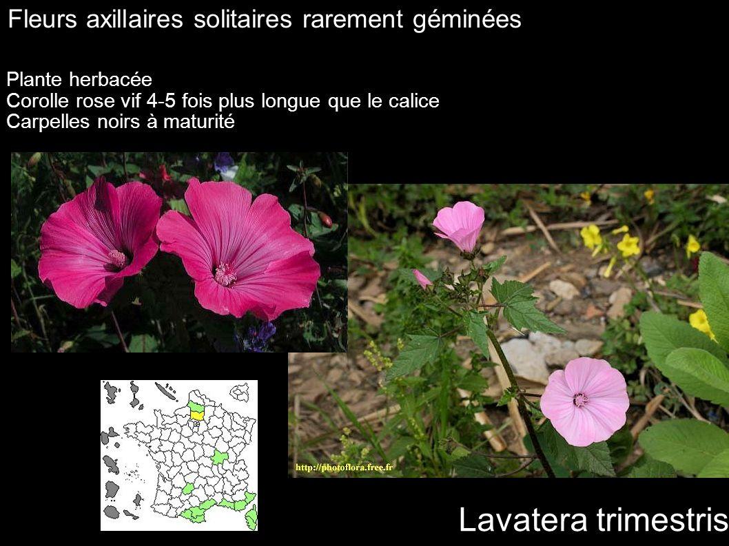 Lavatera trimestris Fleurs axillaires solitaires rarement géminées Plante herbacée Corolle rose vif 4-5 fois plus longue que le calice Carpelles noirs
