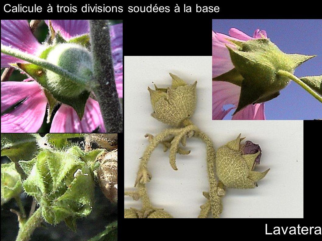 Lavatera Calicule à trois divisions soudées à la base