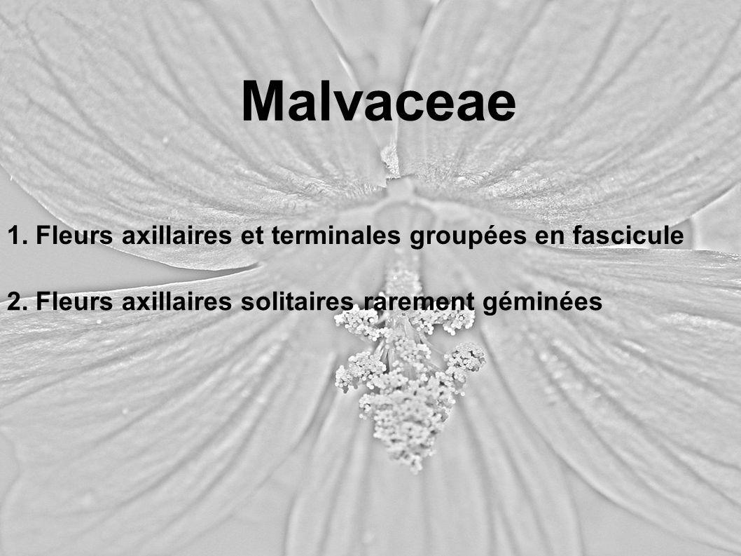 1. Fleurs axillaires et terminales groupées en fascicule Malvaceae 2. Fleurs axillaires solitaires rarement géminées