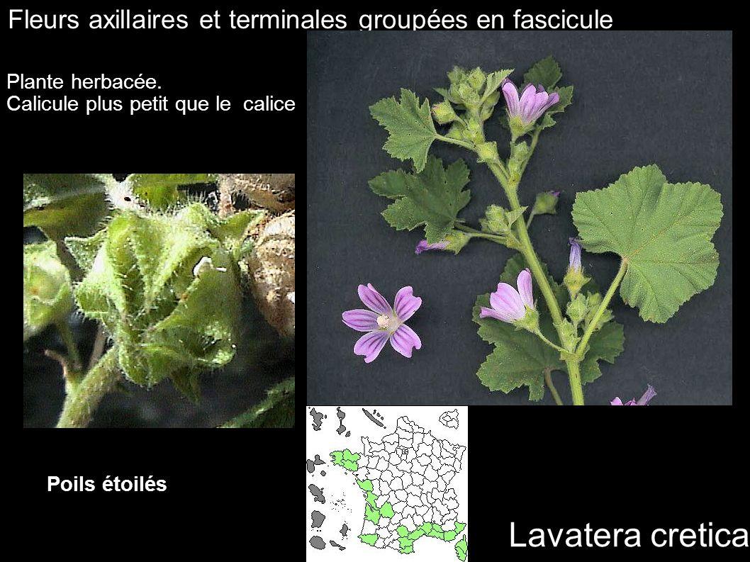 Lavatera cretica Fleurs axillaires et terminales groupées en fascicule Plante herbacée. Calicule plus petit que le calice Poils étoilés