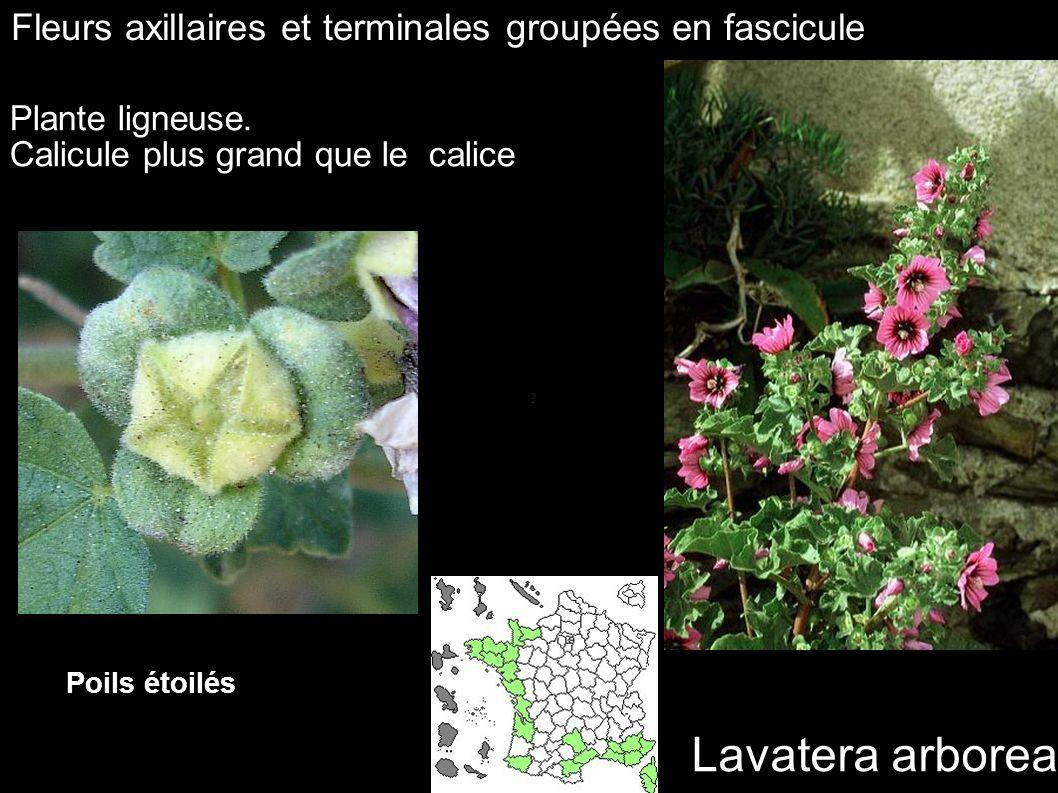 Lavatera arborea Fleurs axillaires et terminales groupées en fascicule Plante ligneuse. Calicule plus grand que le calice Poils étoilés