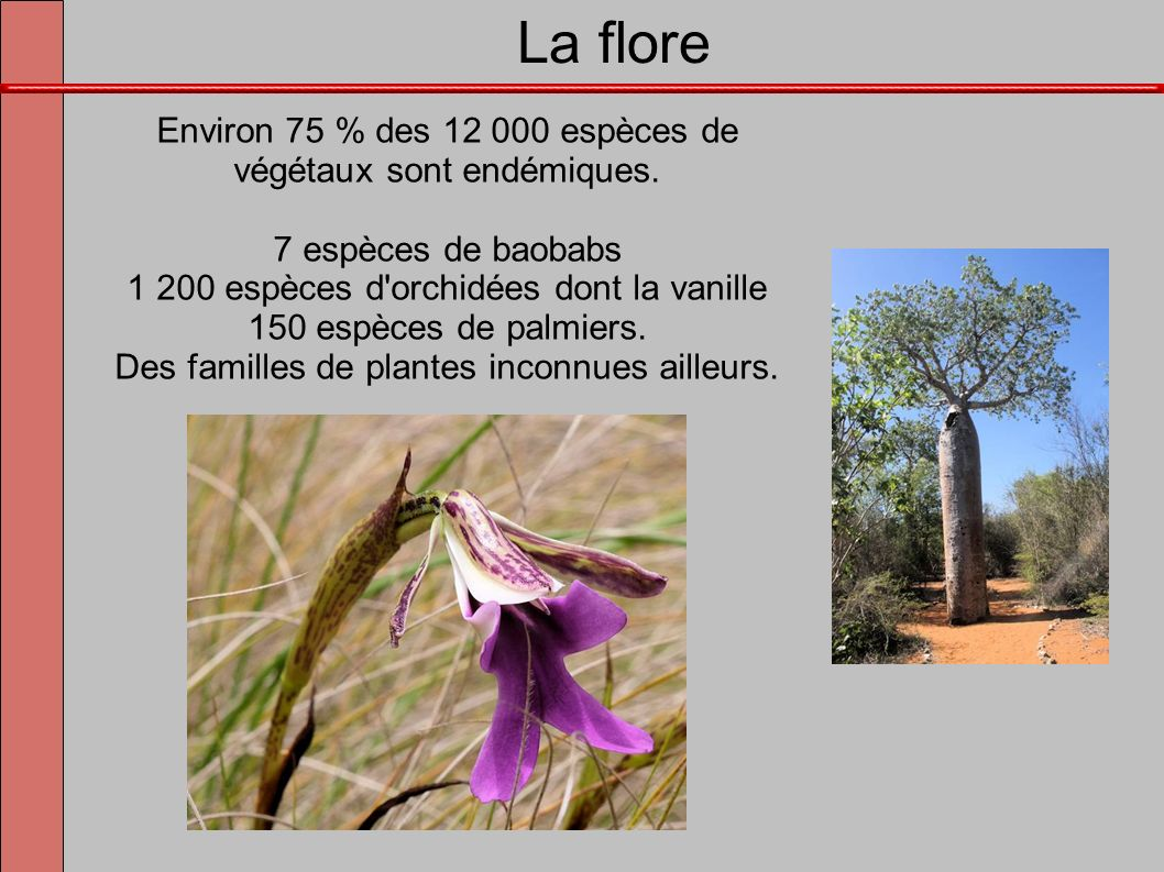 La flore Environ 75 % des 12 000 espèces de végétaux sont endémiques. 7 espèces de baobabs 1 200 espèces d'orchidées dont la vanille 150 espèces de pa