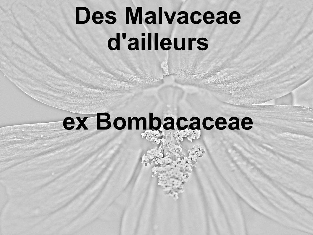 Des Malvaceae d'ailleurs ex Bombacaceae