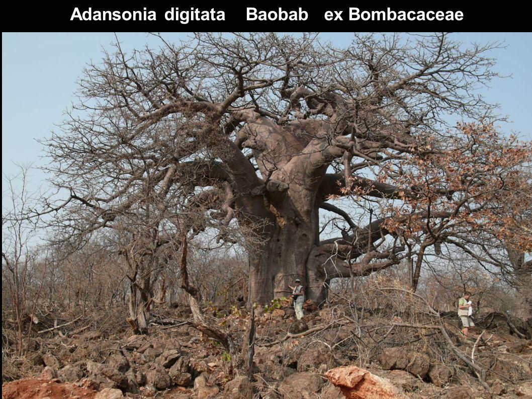 Adansonia digitata Baobab ex Bombacaceae