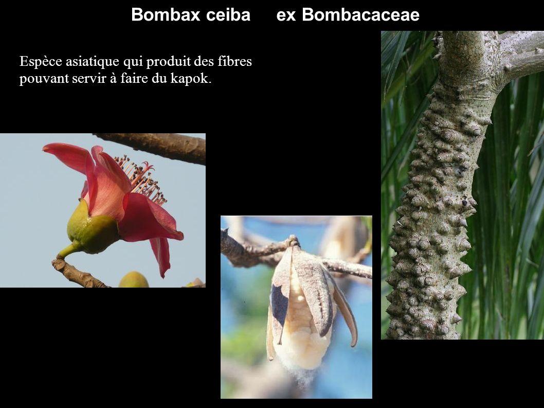 Bombax ceiba ex Bombacaceae Espèce asiatique qui produit des fibres pouvant servir à faire du kapok.