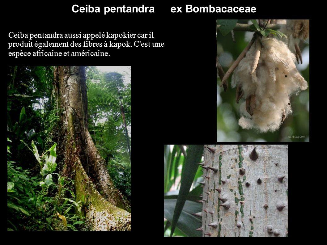 Ceiba pentandra ex Bombacaceae Ceiba pentandra aussi appelé kapokier car il produit également des fibres à kapok. C'est une espèce africaine et améric