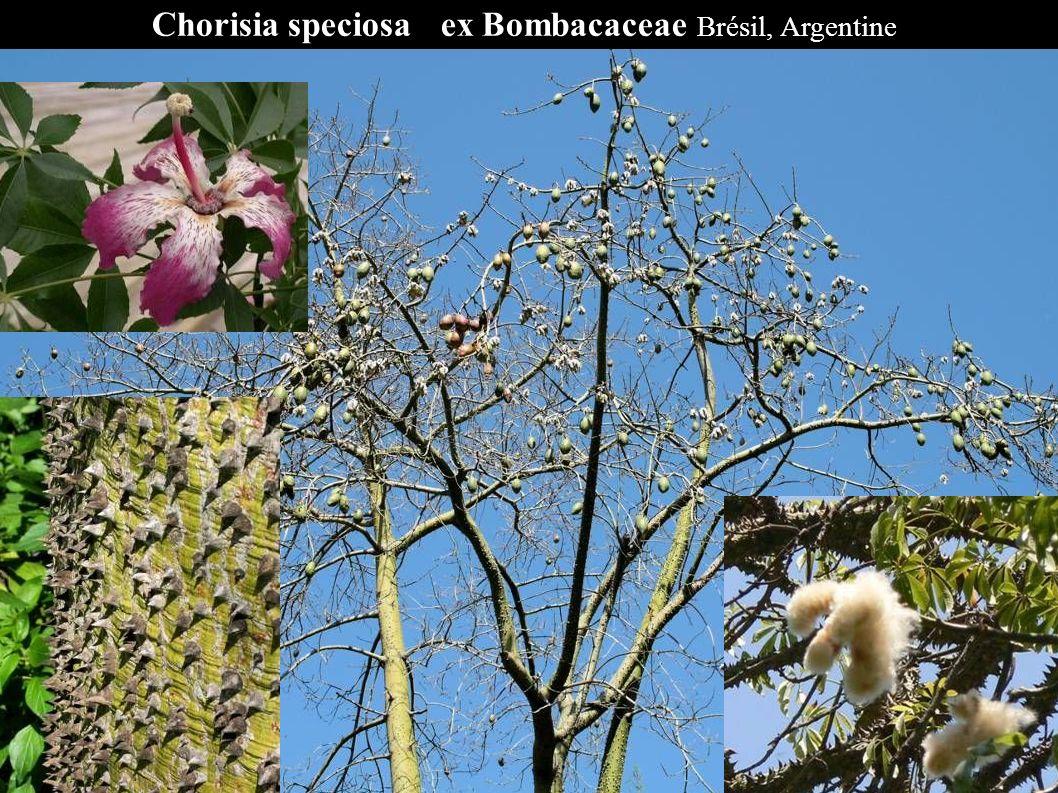 Chorisia speciosa ex Bombacaceae Brésil, Argentine