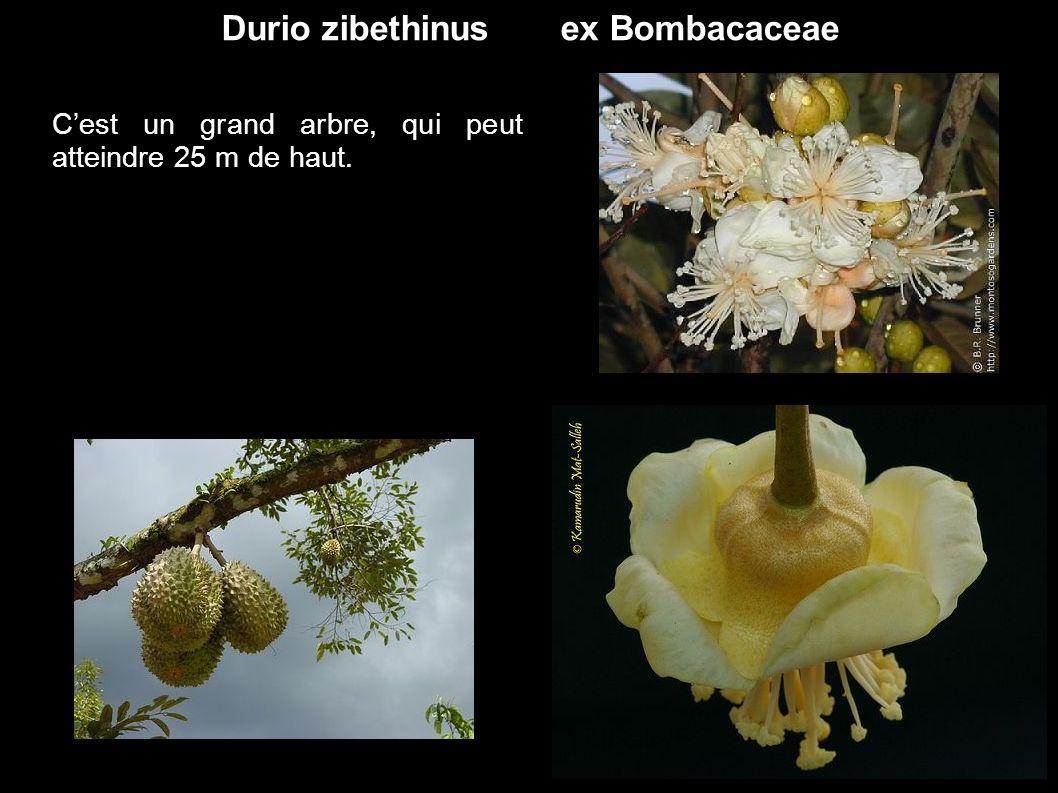 Durio zibethinus ex Bombacaceae Cest un grand arbre, qui peut atteindre 25 m de haut.