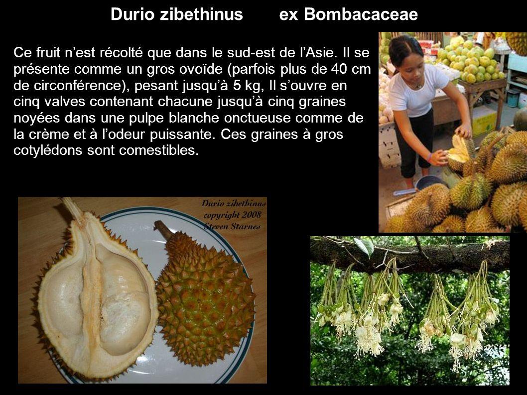 Durio zibethinus ex Bombacaceae Ce fruit nest récolté que dans le sud-est de lAsie. Il se présente comme un gros ovoïde (parfois plus de 40 cm de circ
