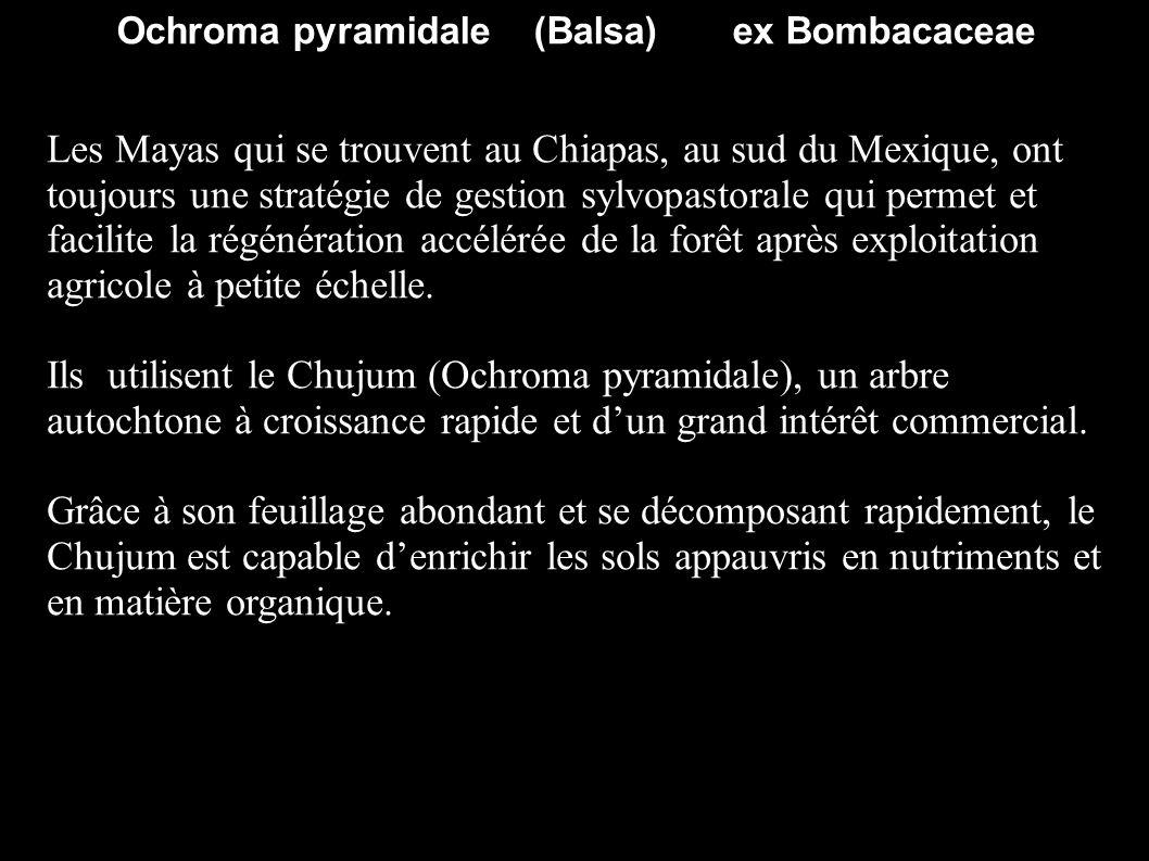 Ochroma pyramidale (Balsa) ex Bombacaceae Les Mayas qui se trouvent au Chiapas, au sud du Mexique, ont toujours une stratégie de gestion sylvopastoral