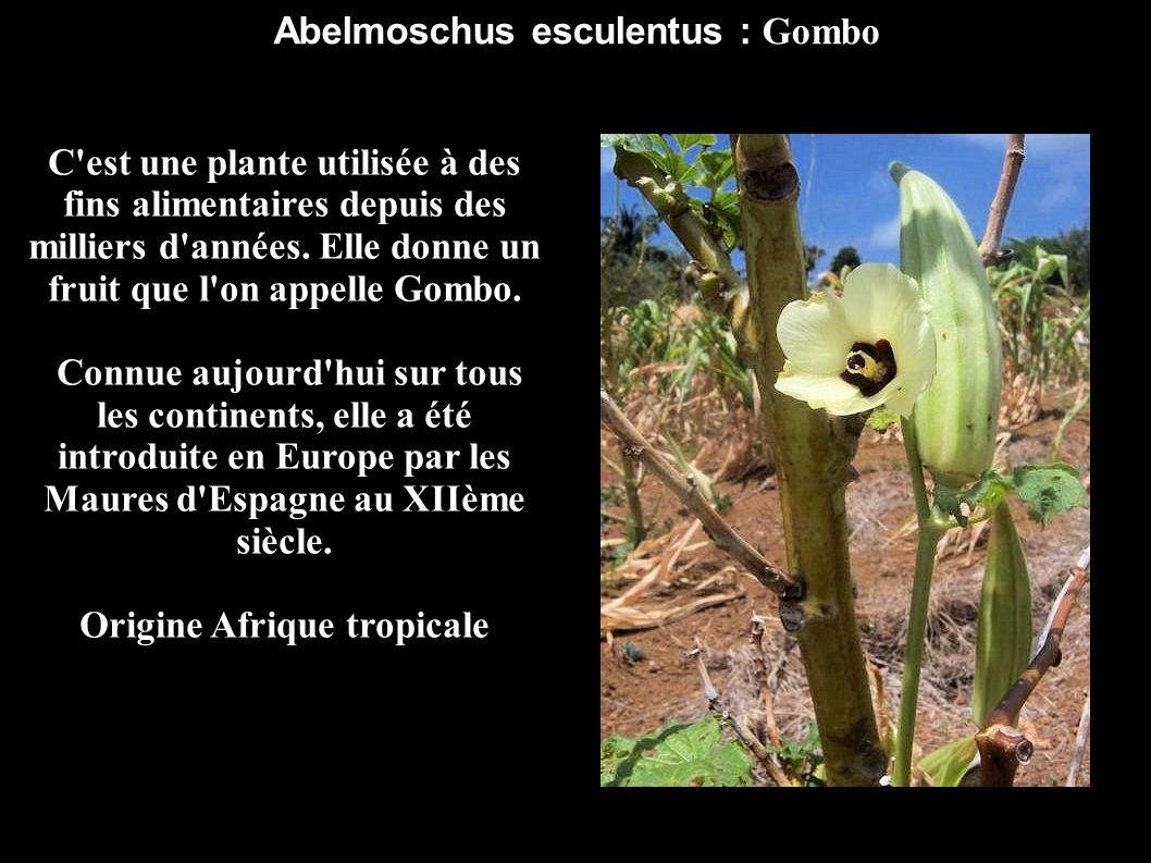 Abelmoschus esculentus : Gombo C'est une plante utilisée à des fins alimentaires depuis des milliers d'années. Elle donne un fruit que l'on appelle Go