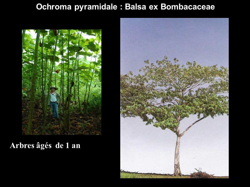 Ochroma pyramidale : Balsa ex Bombacaceae Arbres âgés de 1 an