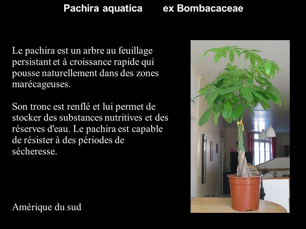 Pachira aquatica ex Bombacaceae Le pachira est un arbre au feuillage persistant et à croissance rapide qui pousse naturellement dans des zones marécag