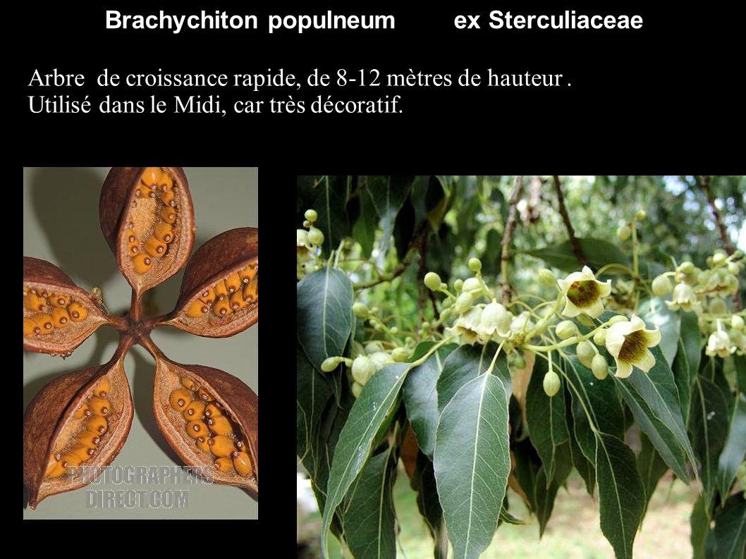 Brachychiton populneum ex Sterculiaceae Arbre de croissance rapide, de 8-12 mètres de hauteur. Utilisé dans le Midi, car très décoratif.