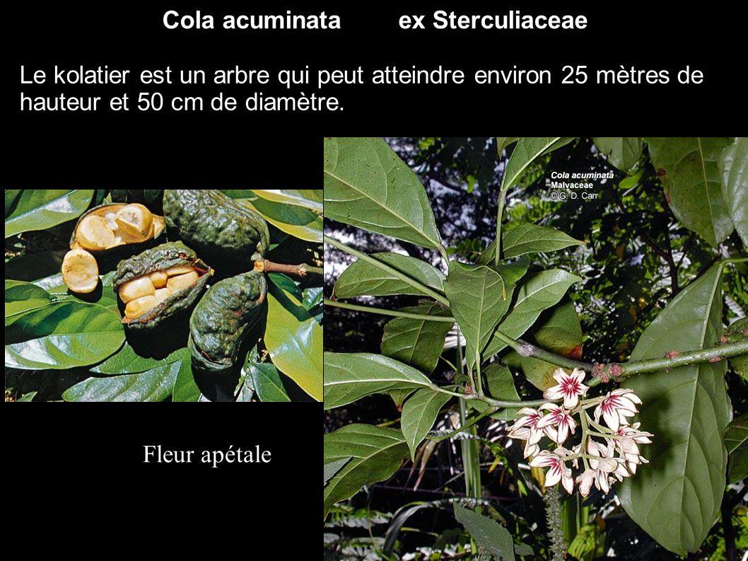 Cola acuminata ex Sterculiaceae Le kolatier est un arbre qui peut atteindre environ 25 mètres de hauteur et 50 cm de diamètre. Fleur apétale