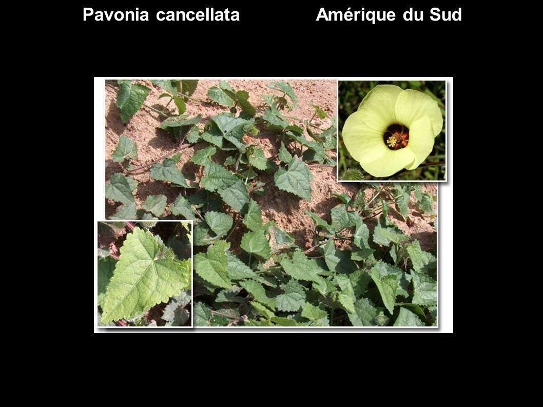 Stercularia brevissima ex Sterculariaceae Chine
