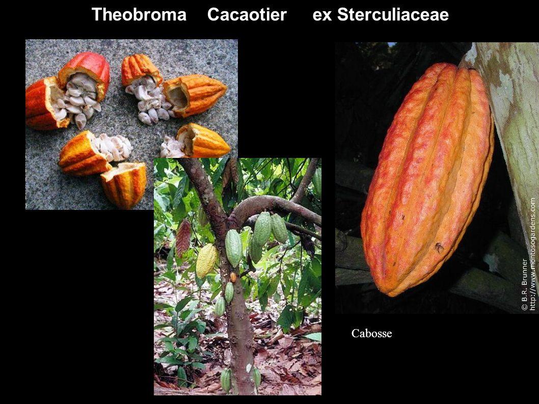 Theobroma Cacaotier ex Sterculiaceae Cabosse