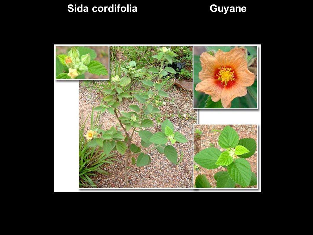 Ceiba pentandra ex Bombacaceae Ceiba pentandra aussi appelé kapokier car il produit également des fibres à kapok.