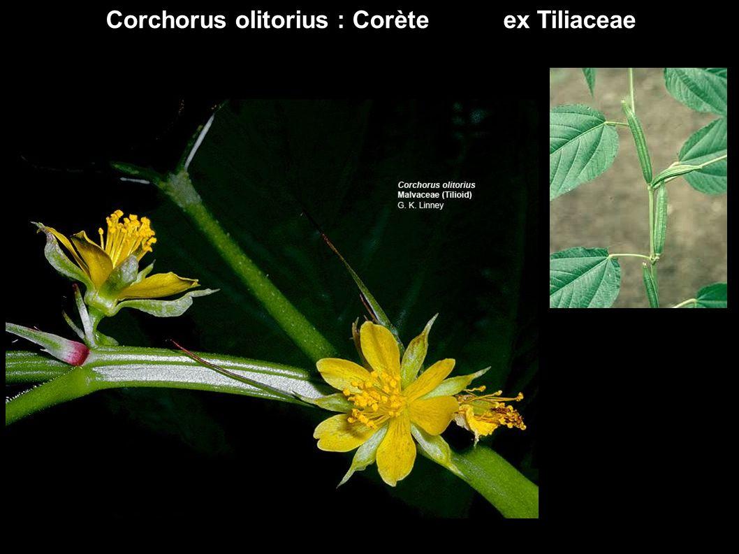 Corchorus olitorius : Corète ex Tiliaceae