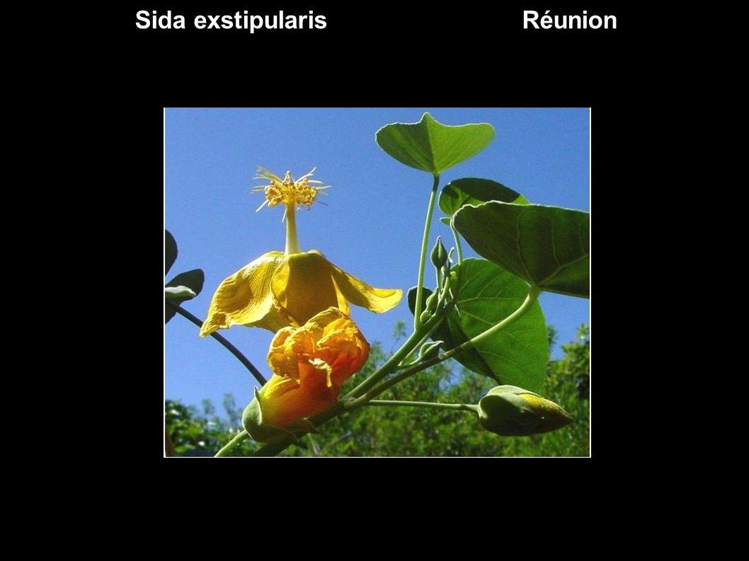 Des Malvaceae d ailleurs ex Sterculiaceae