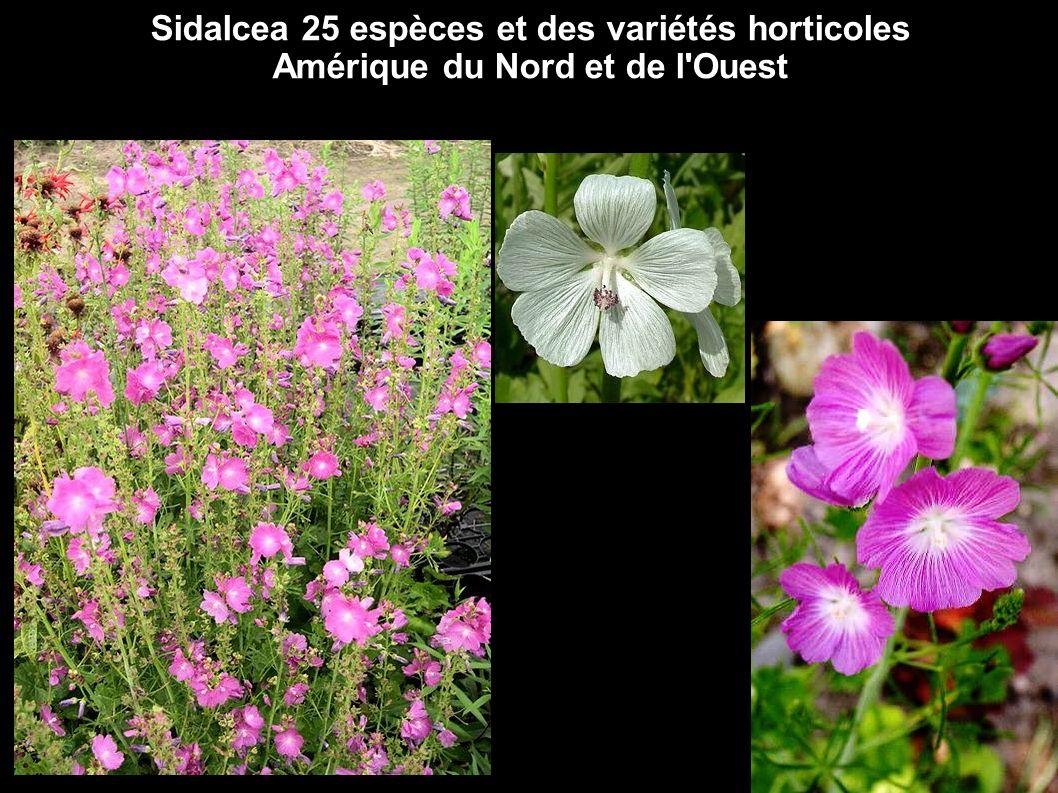 Sidalcea 25 espèces et des variétés horticoles Amérique du Nord et de l'Ouest