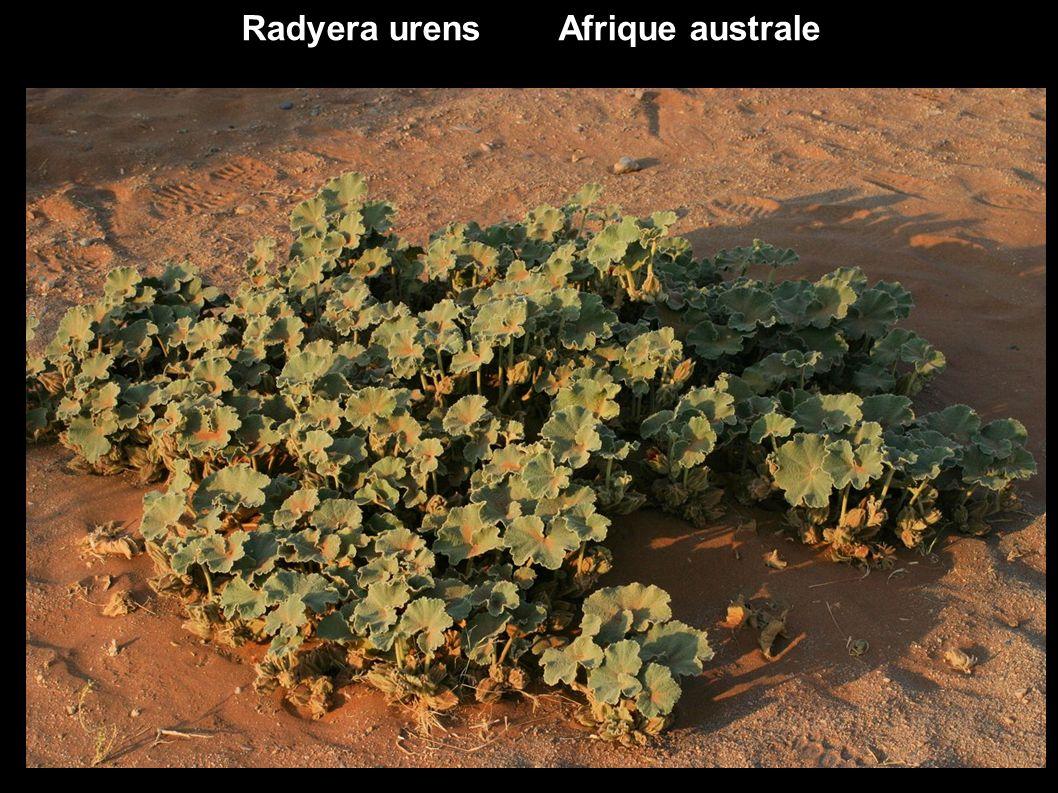 Des Malvaceae d ailleurs ex Tiliaceae