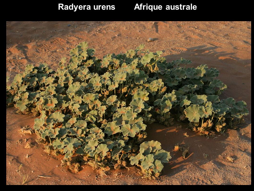 Dombeya burgessiae ex Sterculiaceae Hortensia en arbre