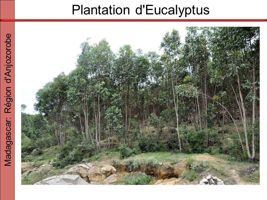 Plantation d'Eucalyptus Madagascar: Région d'Anjozorobe