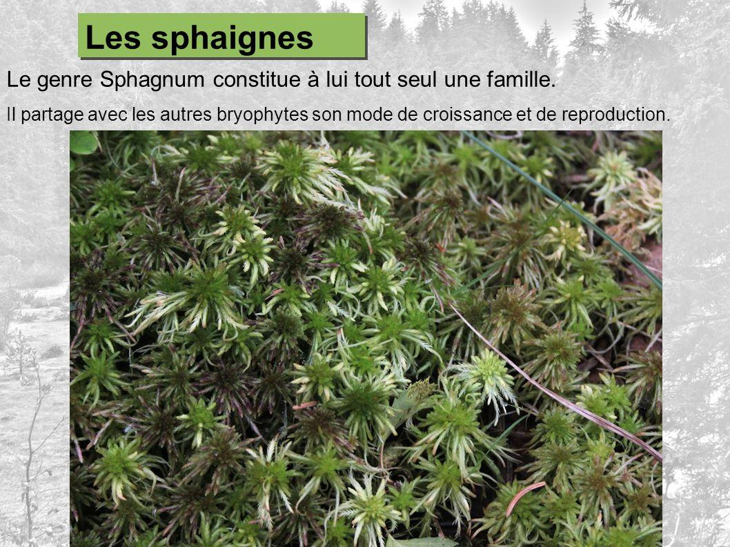 Le genre Sphagnum constitue à lui tout seul une famille. Il partage avec les autres bryophytes son mode de croissance et de reproduction. Les sphaigne