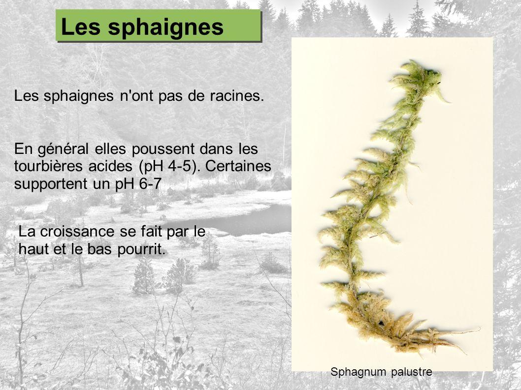 Les sphaignes n'ont pas de racines. En général elles poussent dans les tourbières acides (pH 4-5). Certaines supportent un pH 6-7 Sphagnum palustre Le