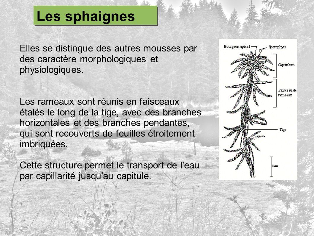 Elles se distingue des autres mousses par des caractère morphologiques et physiologiques. Les rameaux sont réunis en faisceaux étalés le long de la ti