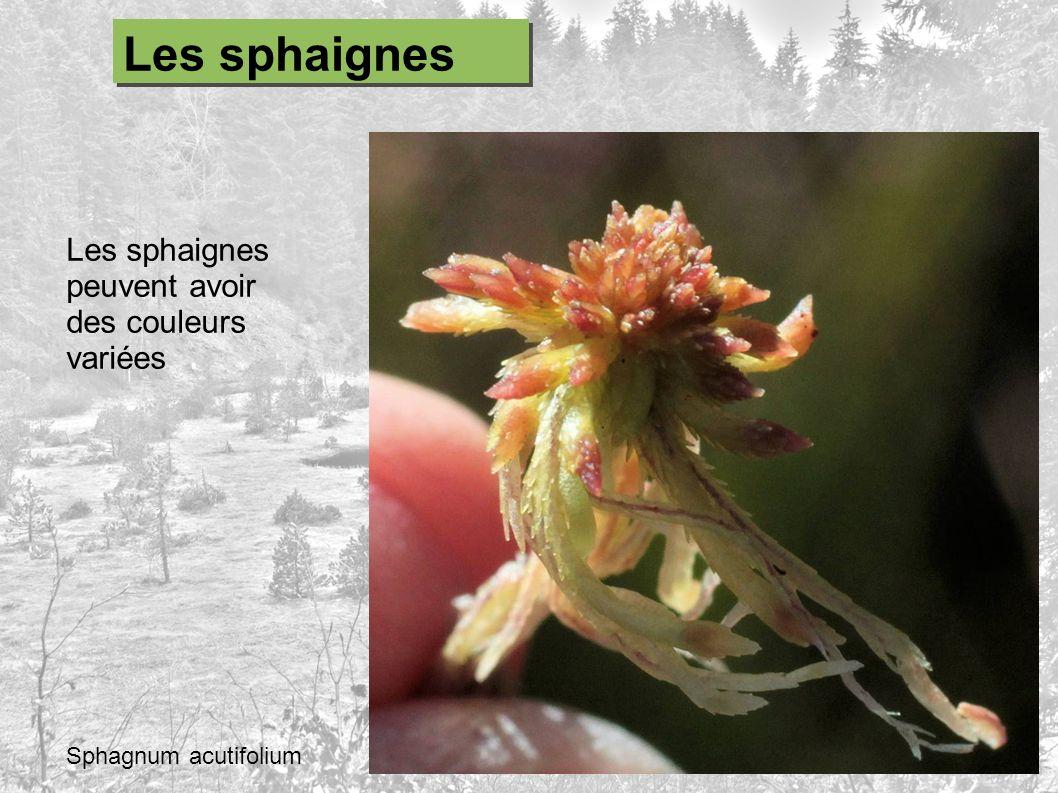 Les sphaignes peuvent avoir des couleurs variées Sphagnum acutifolium Les sphaignes