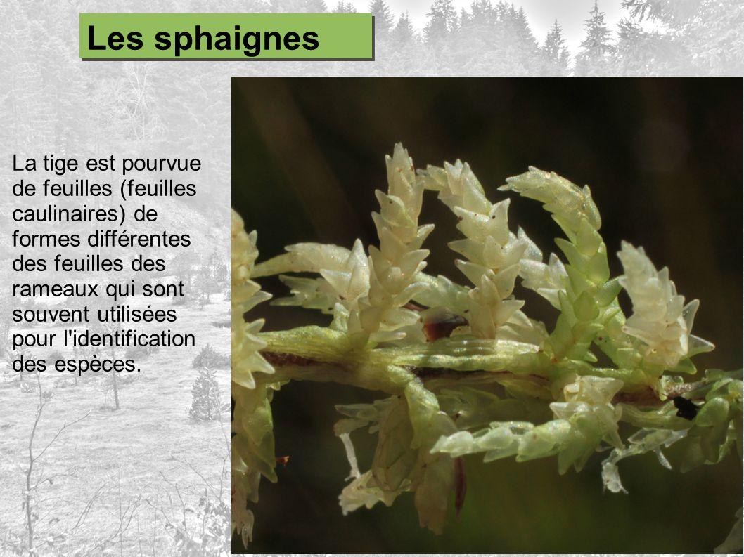La tige est pourvue de feuilles (feuilles caulinaires) de formes différentes des feuilles des rameaux qui sont souvent utilisées pour l'identification