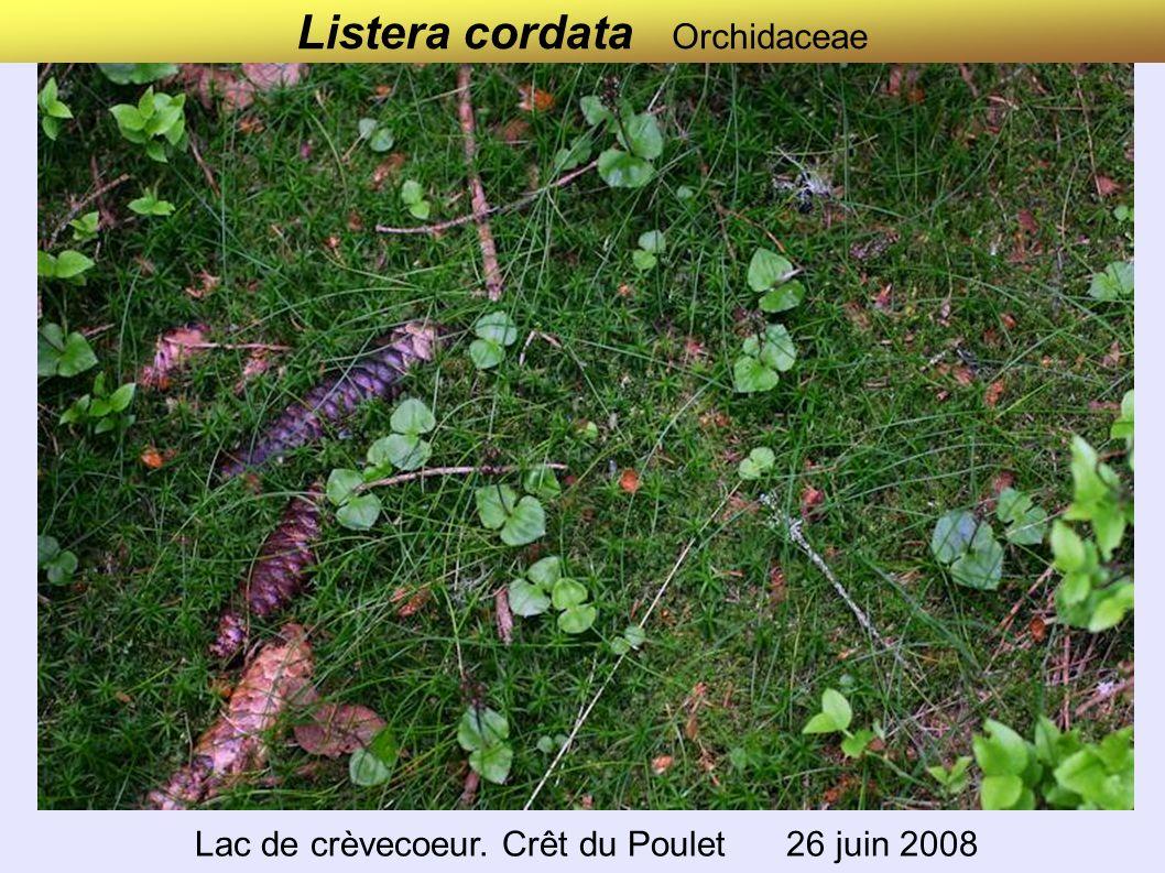 Listera cordata Orchidaceae Lac de crèvecoeur. Crêt du Poulet 26 juin 2008