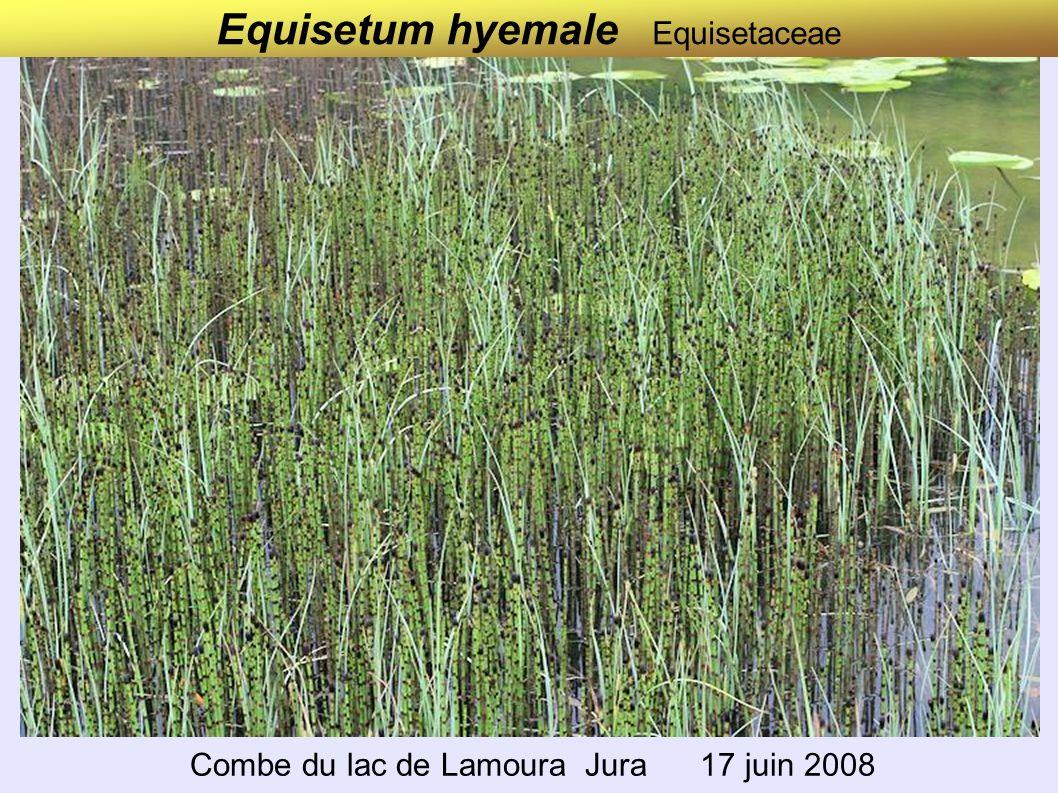 Equisetum hyemale Equisetaceae Combe du lac de Lamoura Jura 17 juin 2008
