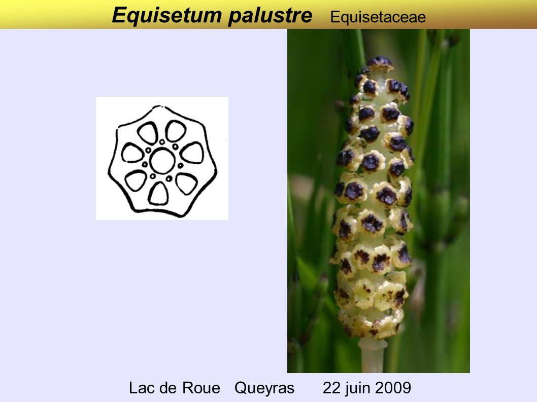 Equisetum palustre Equisetaceae Lac de Roue Queyras 22 juin 2009
