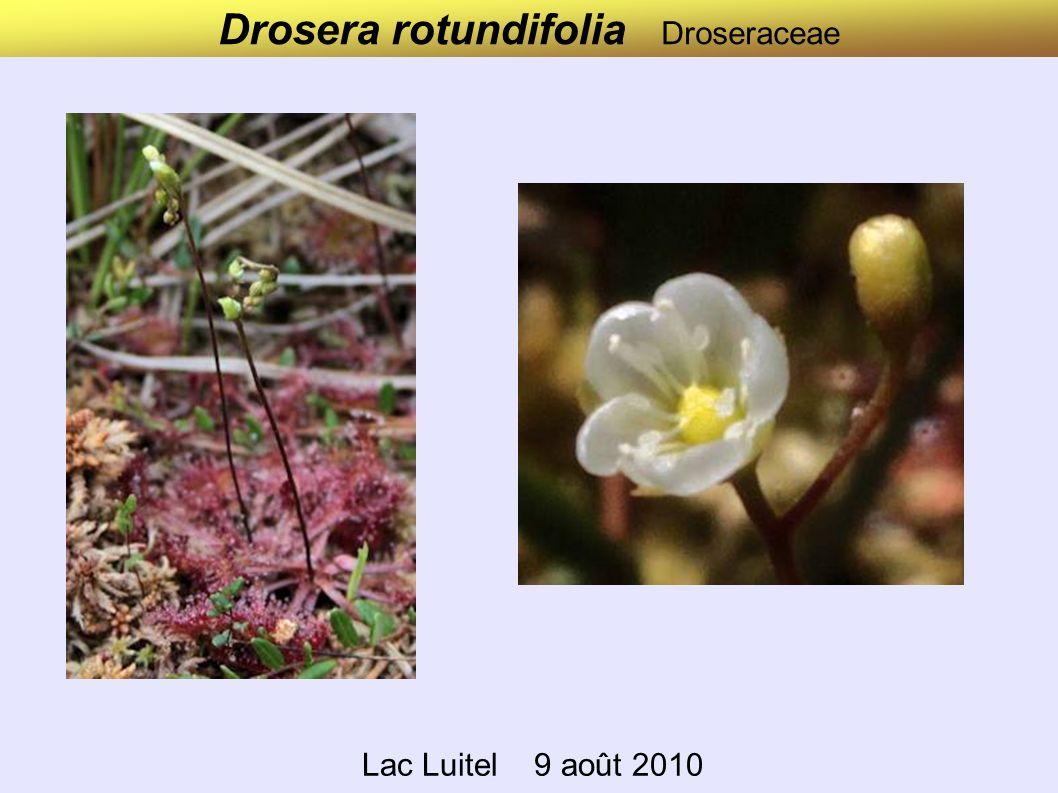 Drosera rotundifolia Droseraceae Lac Luitel 9 août 2010