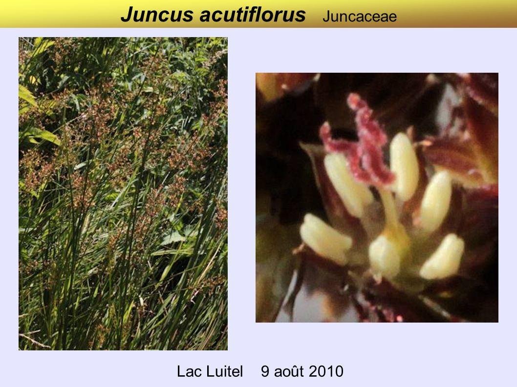 Juncus acutiflorus Juncaceae Lac Luitel 9 août 2010