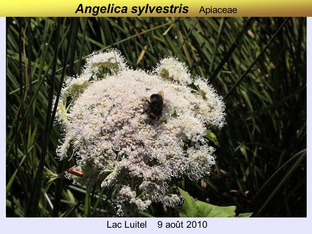 Angelica sylvestris Apiaceae Lac Luitel 9 août 2010