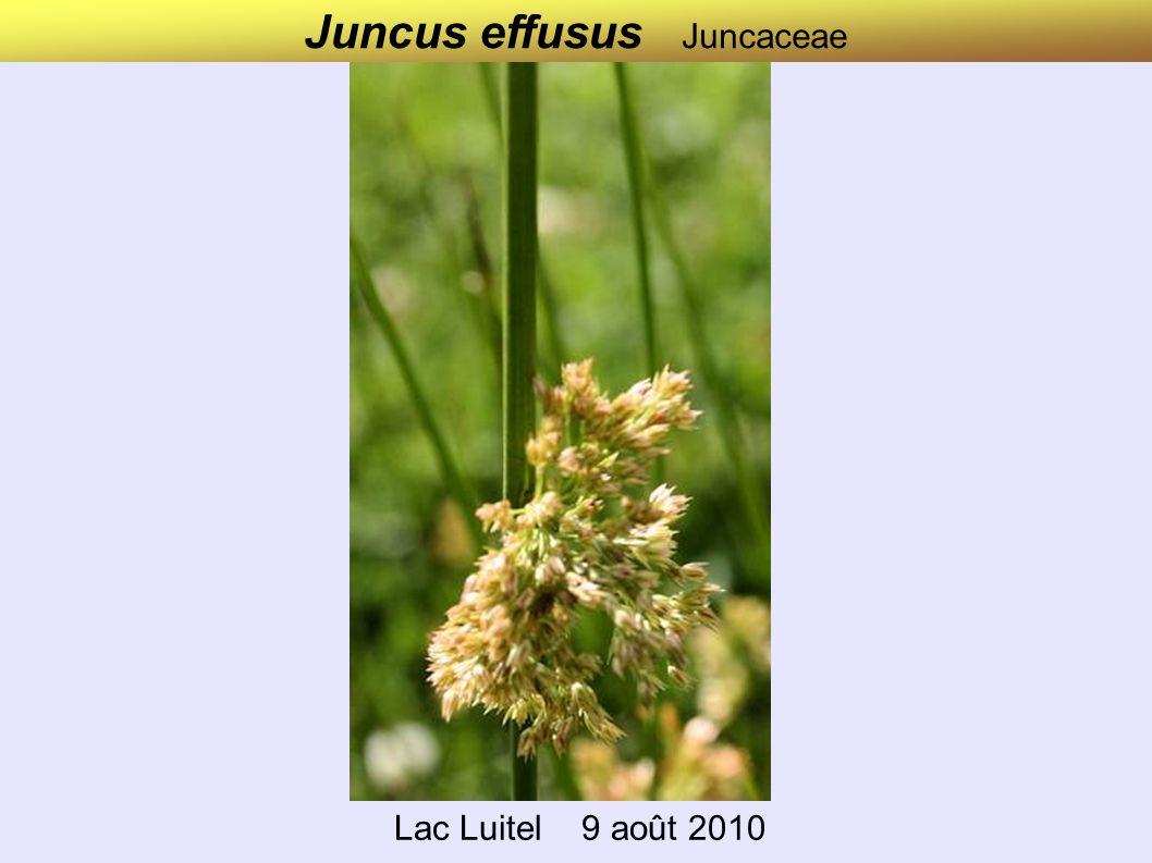 Juncus effusus Juncaceae Lac Luitel 9 août 2010