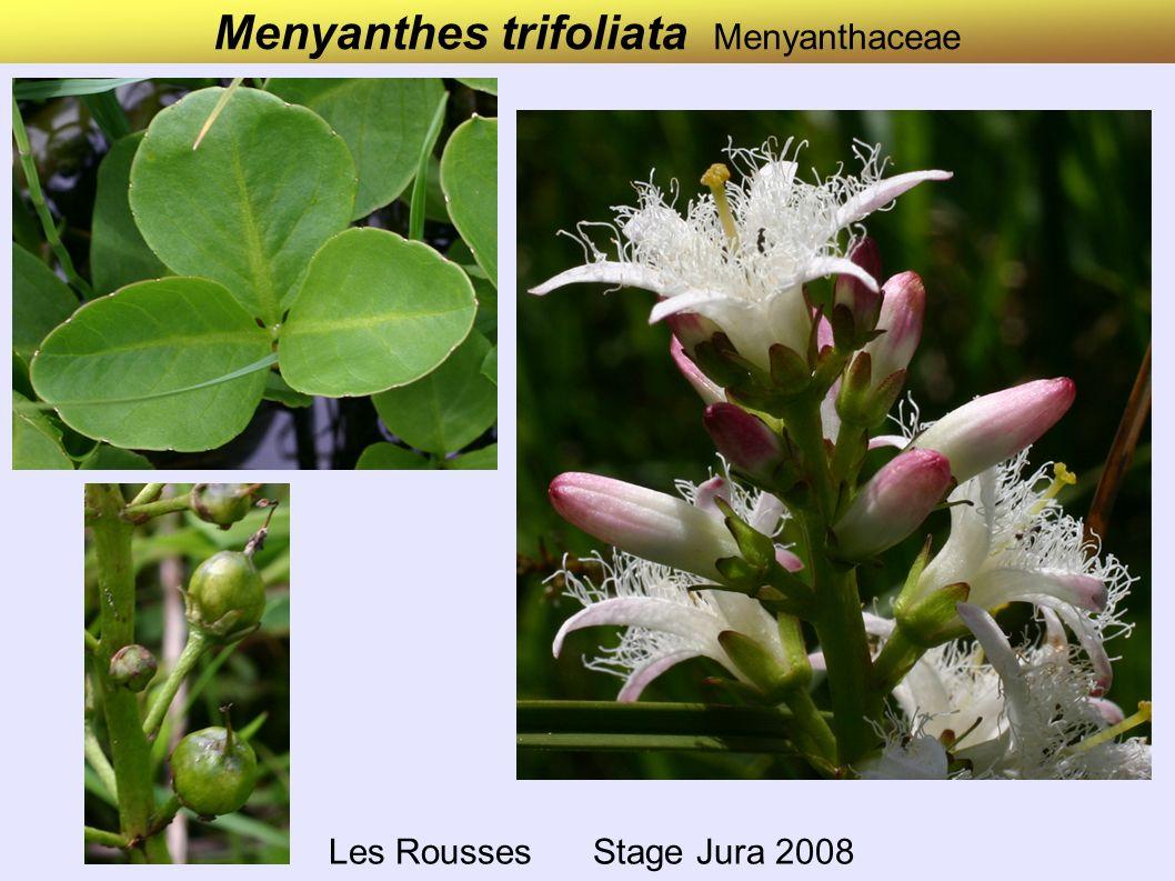 Menyanthes trifoliata Menyanthaceae Les Rousses Stage Jura 2008